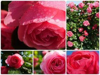 rose29.jpg